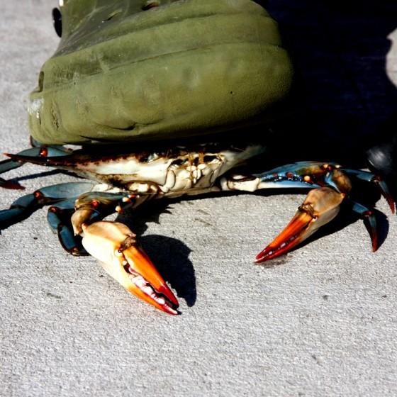 Fisherman holds crab under foot as he fishes from pier along the Mississippi Gulf Coast.